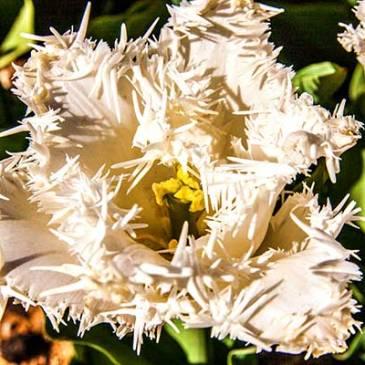 Whited Fringed Hybrid Tulips
